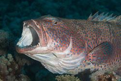 BD-150226-Sharm-6968-Plectropomus-pessuliferus-(Fowler.-1904)-[Roving-coral-grouper].jpg